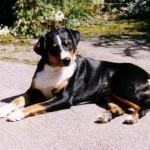 Appenzeller_Sennenhund1