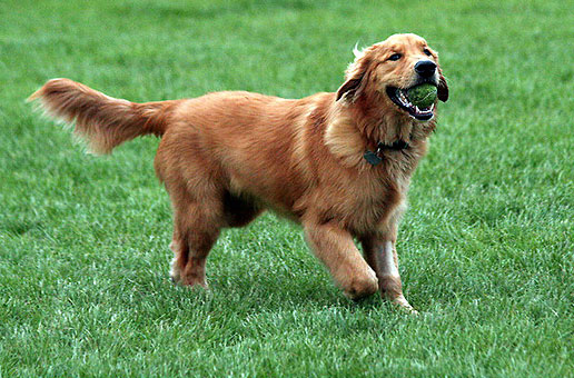 Golden-Retriever-featured